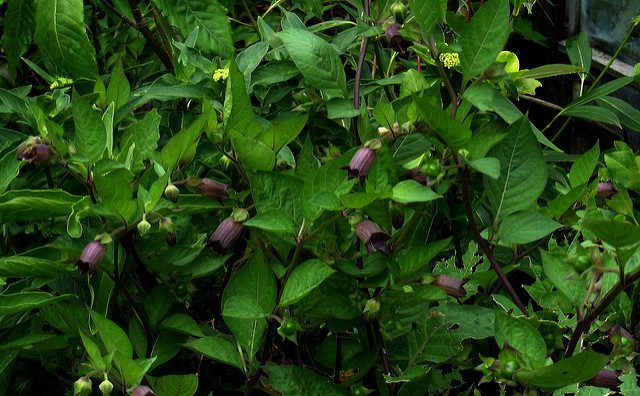 Atropa belladonna is a very green plant with purple-ish, bell shaped flowers.